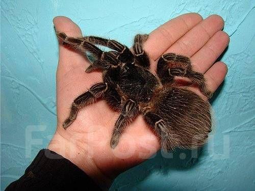 самка ласиодора парахибана паук павук птицеед lasiodora parahybana