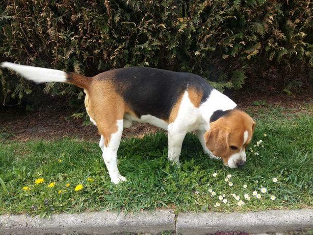 Pies Beagle reproduktor