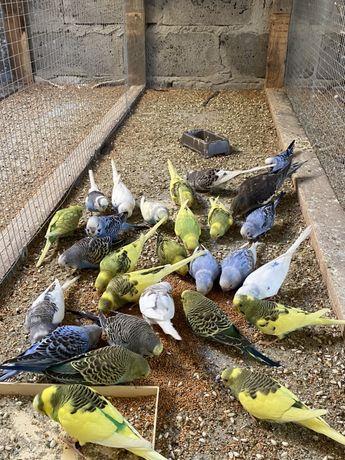 Papugi faliste,nimfy