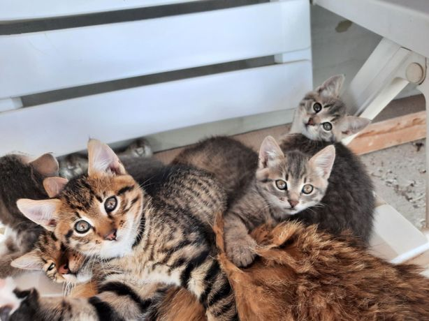 Котики, віддам в добрі руки, котенята, 3 дівчинки та 1 хлопчик