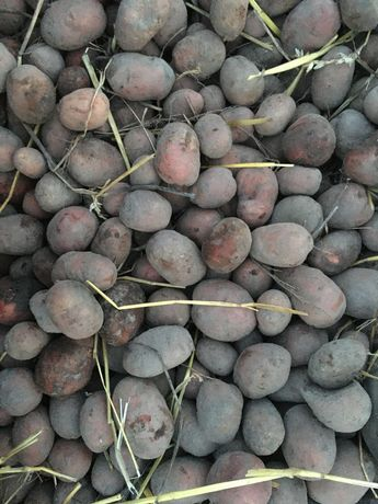 Ziemniaki sadzeniak sadzeniaki bellarosa po kwalifikacie  15kg
