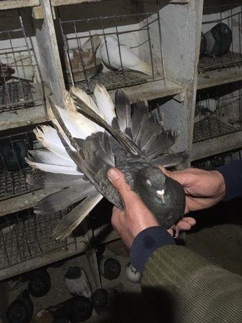 Gołębie Orliki Lubelskie
