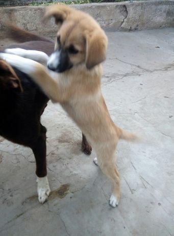 щенок переводняк(девочка)