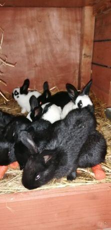 Sprzedam króliki srokacz niemiecki czarny