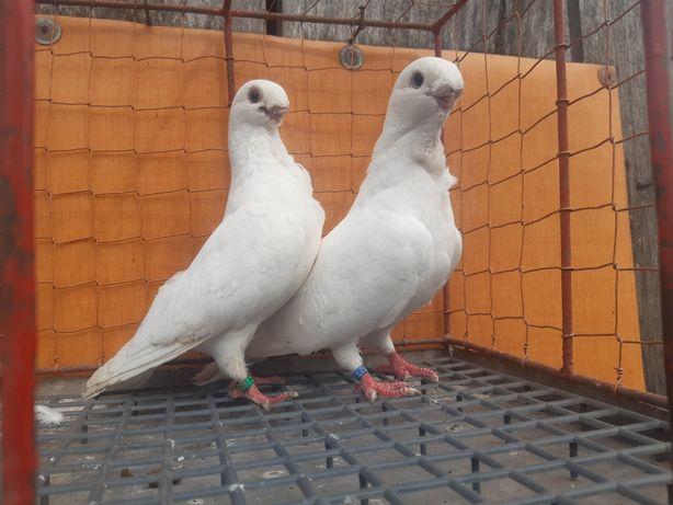 Mewka biała mewki para ptaki gołębie ozdobne