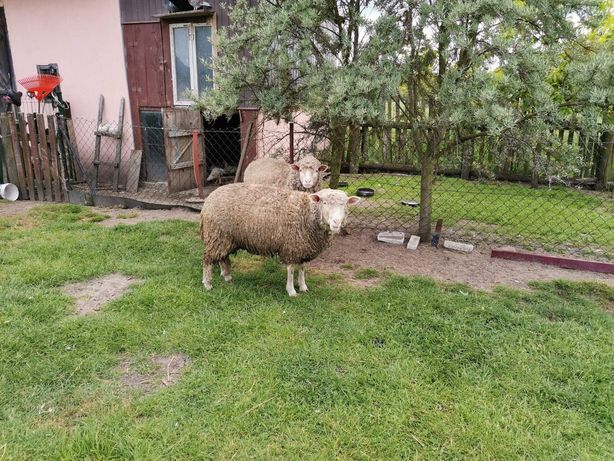 Owce, owieczki, jagnięcina