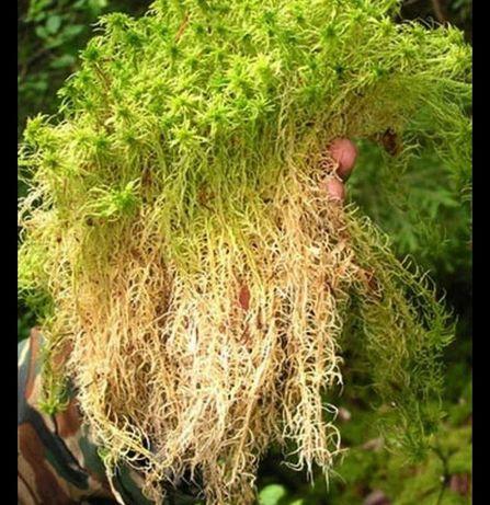 Продам мох свагну 80 грн