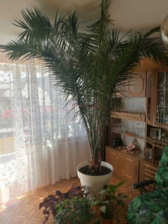 Palma daktylowa duża