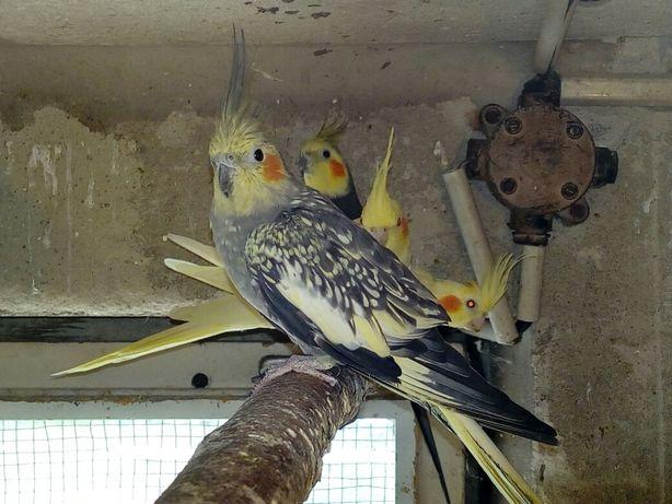 Papugi nimfy - zamiana