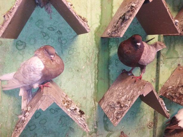 Gołębie rysie