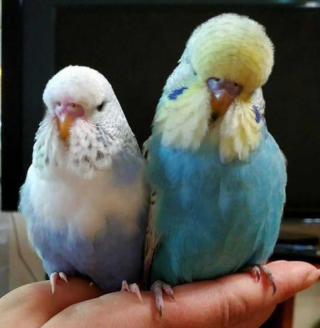 Продам в хорошие руки попугаев, попугайчиков, попугаюшек)))