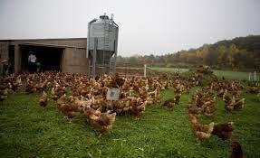 Kury KURKI nioski młode z jajkiem. Posiadamy wszystkie rasy kurek.