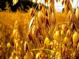 mieszanka 26 ton pszenica pszenżyto owies