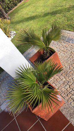 Palmeiras pequenas e juvenis, agaves e bromélias