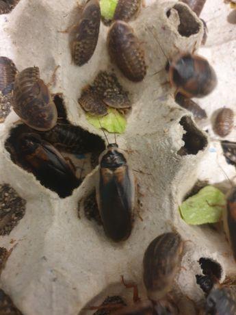Распродажа !!!  Аргентинские тараканы по 2 большие