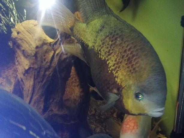 Pielegnica pearsei akwarystyka akwarium vieja
