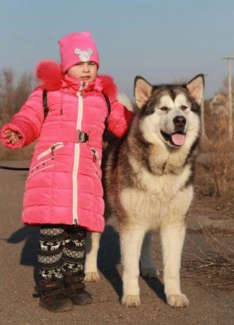 Элитная взрослая девочка Аляскинского маламута для разведения!
