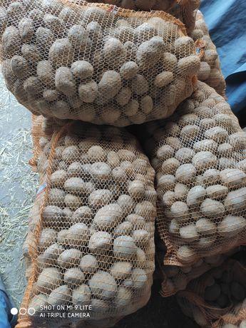 Ziemniaki jadalne na oborniku bydlęcym