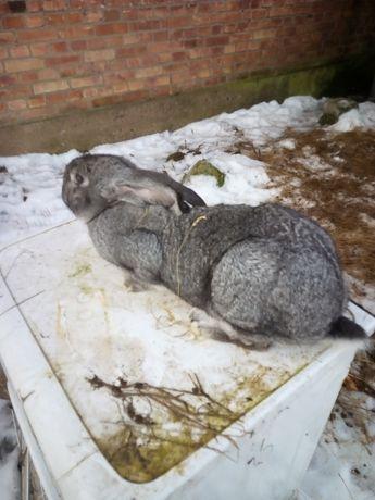 Mam na sprzedaż królika rasy Belgijski olbrzym Szynszylowy
