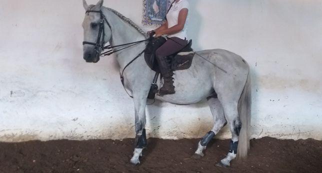 Vendo cavalo Lusitano