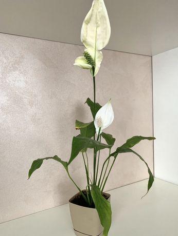 Спатифиллум цветок вазон