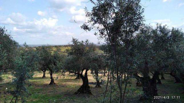 Terreno com oliveiras no pacato Alentejo