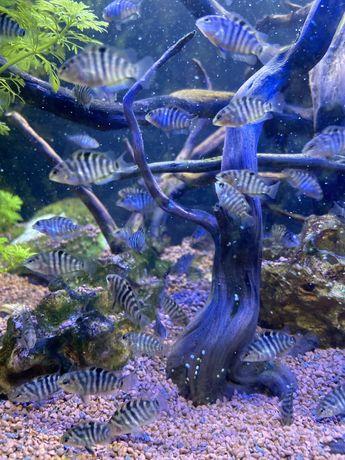 Peixe raro: Nigrofasciatus (Ciclídeos) - Alevinos