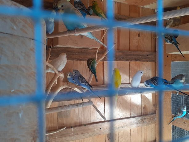 Papugi faliste papugi