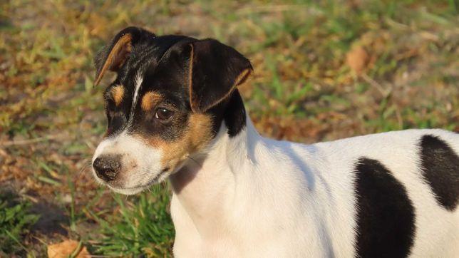 Jack Russell terrier/BREFIO - suczka do odbioru