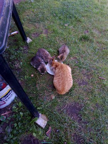 Oddam małe koty mają  3 miesiące