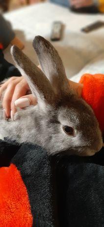 Распродажа кролик декоративный