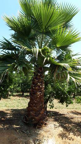 Vendo Palmeira washingtonia