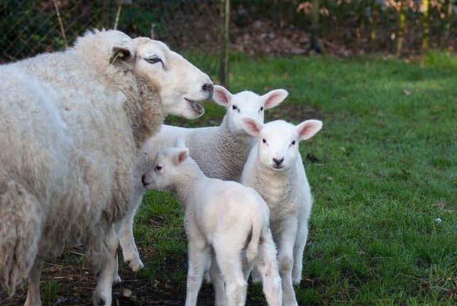 Owieczka owca tryk baran