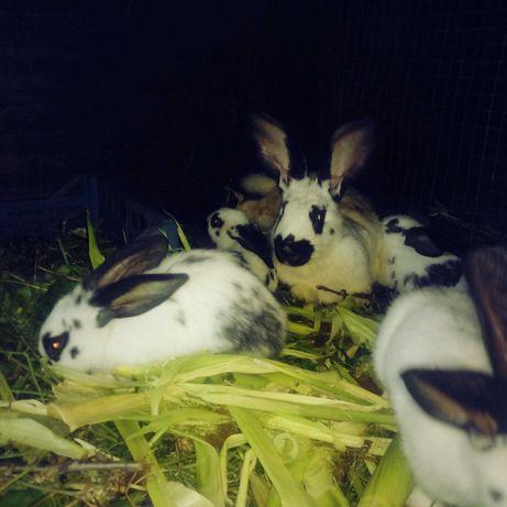 Продам молодняк кроликов