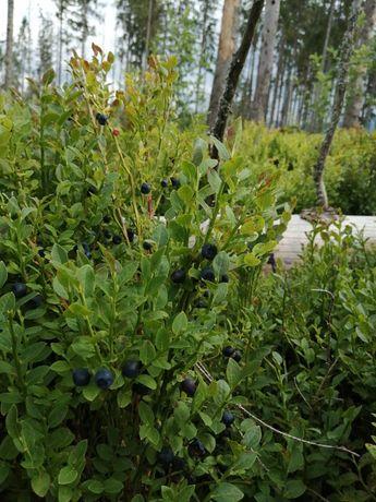 Borówki leśne, Jagody