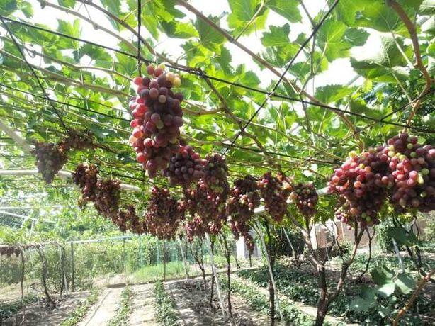 Правильная обрезка винограда!