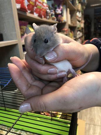 Szczur szczurek samica szara czarna biała młode szczurki samiczki