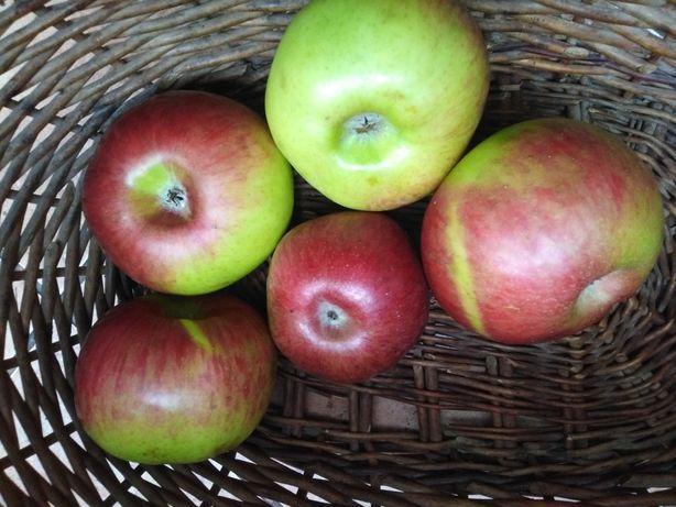 Jabłka odmiana Cortland