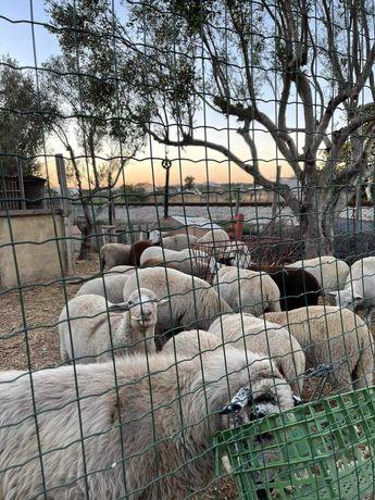 Ovelhas para venda