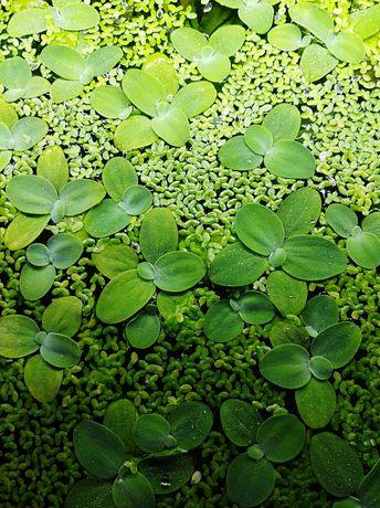 Sprzedam rośliny akwariowe Pistia rozetkowa