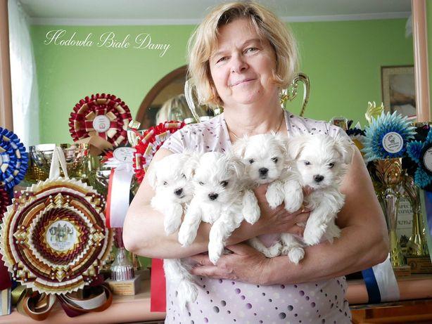 Maltańczyki Maltańczyk Śliczne Suczki Pieski Śląskie DNA rodowód