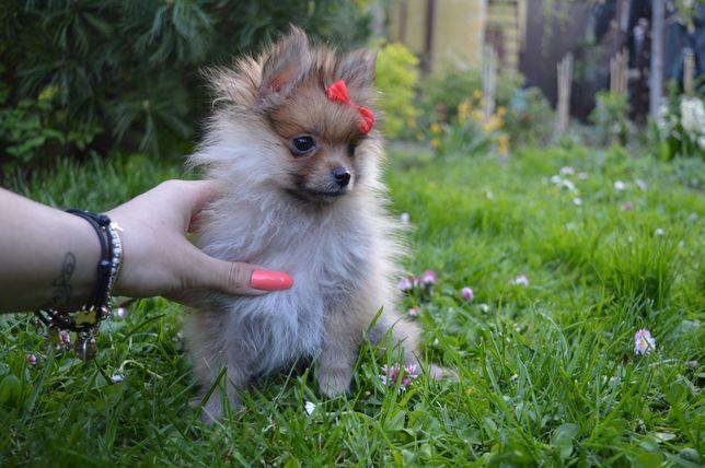 Pomeranian prześliczna malutka SUNIA