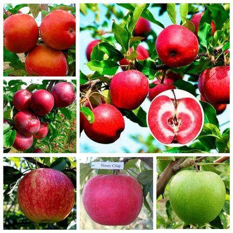 Саженцы яблони, груши, слива, айва большой выбор сорта опт и розница.