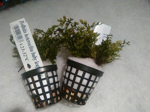 Roślina akwariowe bolbitis heudeloti paproc