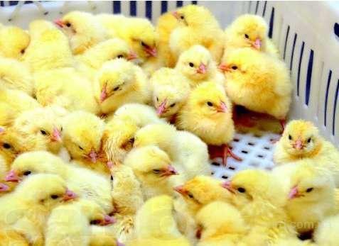 Добові курчата - СОВВ 500 бройлер
