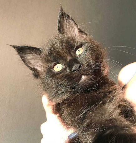 Чистокровные котята МЕЙН-КУНА