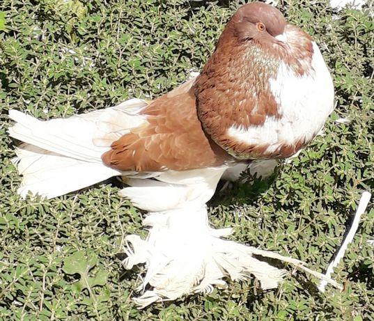 Pombos papo de vento