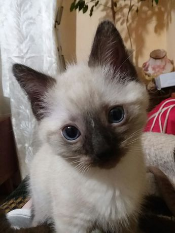 Чистокровный тайский котик