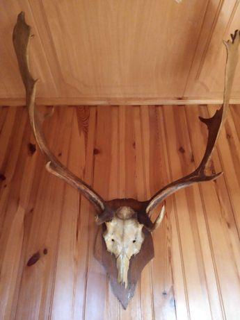 Poroże jelenia stare prawie 100 letnie