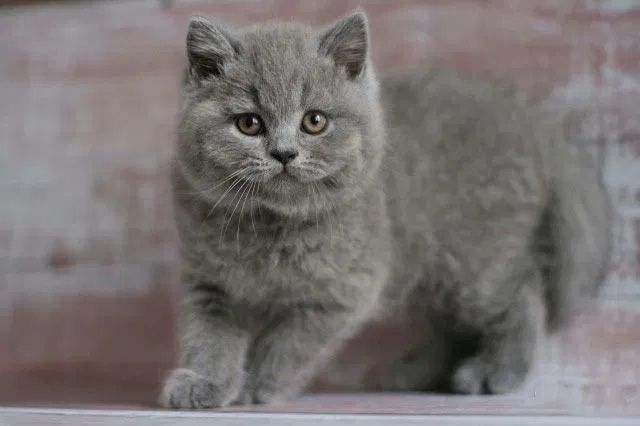 Одесса клубные шотландские котята плюшевый не британские